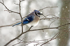 Winter Bluejay Royalty Free Stock Photography