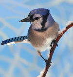 Winter Bluejay Close- up Stock Photos