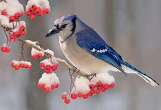 Winter Bluejay (Cyanocitta cristata) Stock Photos