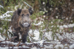 Winter boar Stock Photo