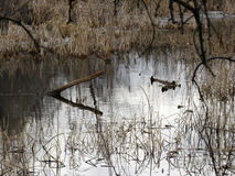 Winter bog. Or pond trees logs swamp reeds stock photography