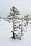Winter bog tree royalty free stock photography