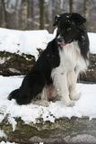 Winter border collie. Sunday walk in a wood Stock Photos