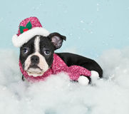 Winter Boston Puppy Royalty Free Stock Photos