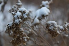 Dry plant in the snow stock images