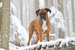 Winter Boxer. This boxer really enjoys the snow, especially on a forest hike during a winter snow fall Stock Image