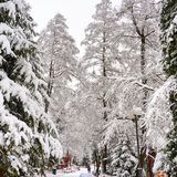Winter in Brașov. Trees with snow in Brașov county Stock Images