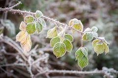 Winter brambles Royalty Free Stock Photo