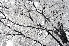 Winter branch. Detail of the wintry branches royalty free stock photos