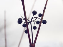 Winter branch Royalty Free Stock Image