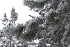 Winter branch of pine. Snow covered branch of pine Stock Photography