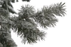 Winter branch of pine. Snow covered branch of pine (on white Royalty Free Stock Photos