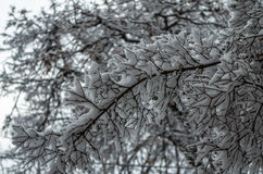 Winter branch with snow Royalty Free Stock Photos