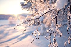 Winter branch in snow. North of Russia stock photography