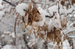 Winter branch of trees with dry frosty brown leaves covered with white snow.  Stock Photos