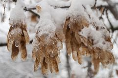 Winter branch of trees with dry frosty brown leaves covered with white snow.  Royalty Free Stock Image