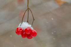 Winter branch with Viburnum in the snow, frozen. Royalty Free Stock Photos
