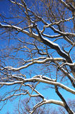 Winter branches. Branches of a tree under snow over blue sky in wintertime Stock Image