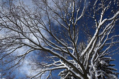 Winter branches. Snow covered branches on a large tree on a winter day royalty free stock photography