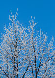 Winter branches Royalty Free Stock Images