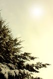 Winter branches of blue pine tree covered with fluffy snow Stock Photo