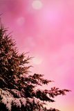 Winter branches of blue pine tree covered with fluffy snow Royalty Free Stock Photo