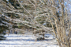 Winter branches covered with snow. Frozen bush branch in winter forest. Background Royalty Free Stock Photography