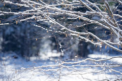 Winter branches covered with snow. Frozen bush branch in winter forest. Background Stock Images