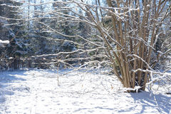Winter branches covered with snow. Frozen bush branch in winter forest. Background Stock Photo