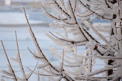 Winter branches of larch with white snow. Cold Royalty Free Stock Photos