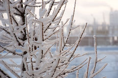 Winter branches of larch with white snow. Cold Stock Photography