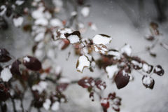 Winter branches of a tree. Tree branch covered with snow Stock Photos