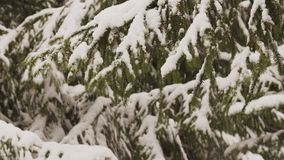 Winter bright background with snowy fir branches stock video
