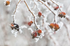 winter bright rose hips Royalty Free Stock Photos