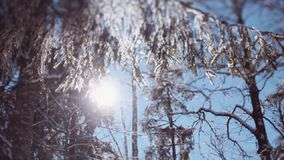 Winter bright sun shining through the snowy branches of pines. Amazing nature. Winter season. Cold outside. stock video