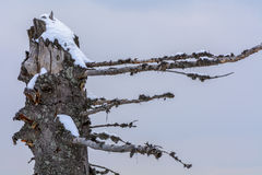 Winter broken trunk tree. Background with dry interesting shaped Royalty Free Stock Photo
