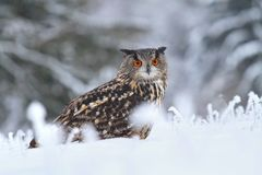 Winter Bubo bubo Stock Photos