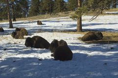 Winter buffalo herd. Royalty Free Stock Image