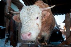 A winter bull. Royalty Free Stock Photos