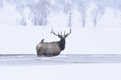 Winter bull elk Royalty Free Stock Image