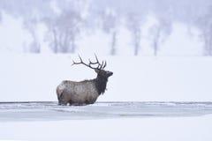 Winter bull elk Stock Image