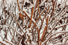 Winter. Bush brunches with snow Stock Image