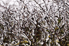 Winter. Bush detail in winter time Stock Images