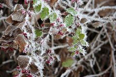 Winter bush with morning frost. A close-up colorful winter nature background royalty free stock photos