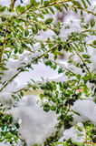 Winter Bush Royalty Free Stock Images