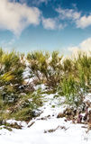 Winter bushes. Bushes mountain on a sunny day in winter Stock Photography