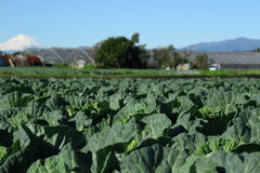 Winter cabbage field and Mt. Fuji background #2 Royalty Free Stock Photo