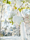 Winter came earlier than autumn. Green leaves on a tree covered Royalty Free Stock Photos