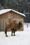 Winter camel Royalty Free Stock Photo
