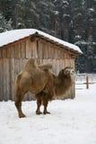 Winter camel. Animal at snow Royalty Free Stock Photo